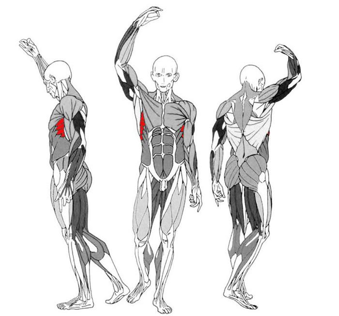 зубчатые мускулы
