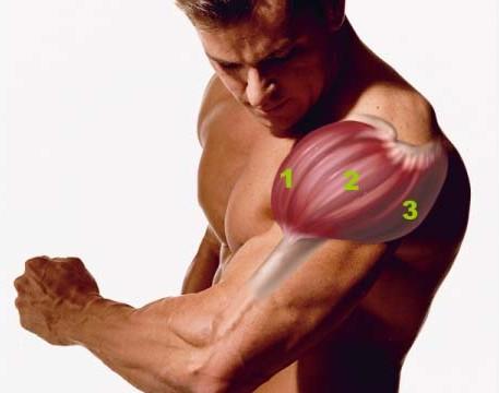 Строение дельтовидной мышцы