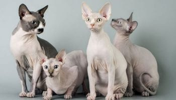 Hairless-Cats-sphynx-cats-promo.jpg.600x315_q80_crop-smart