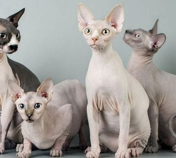 Hairless-Cats-sphynx-cats-promo.jpg.600x315_q80_crop-smart